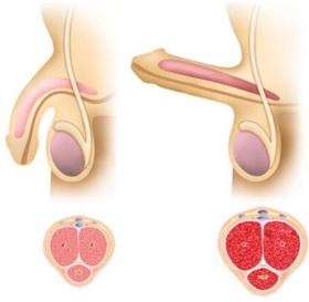 mechanismus erekce